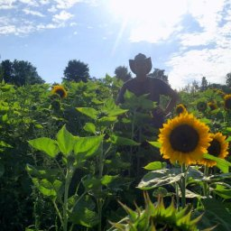 topher_sunflower_organic_biologique_tournesol